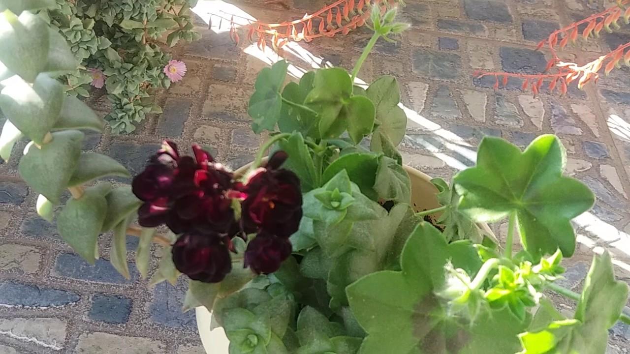 Pelargonium in the pot in my greenhouse. - YouTube
