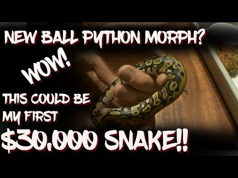 Possible new ball python morph!