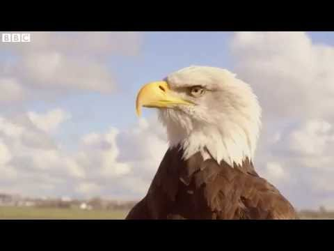 The eagle that chases drones   BBC News Item 2 CLICK