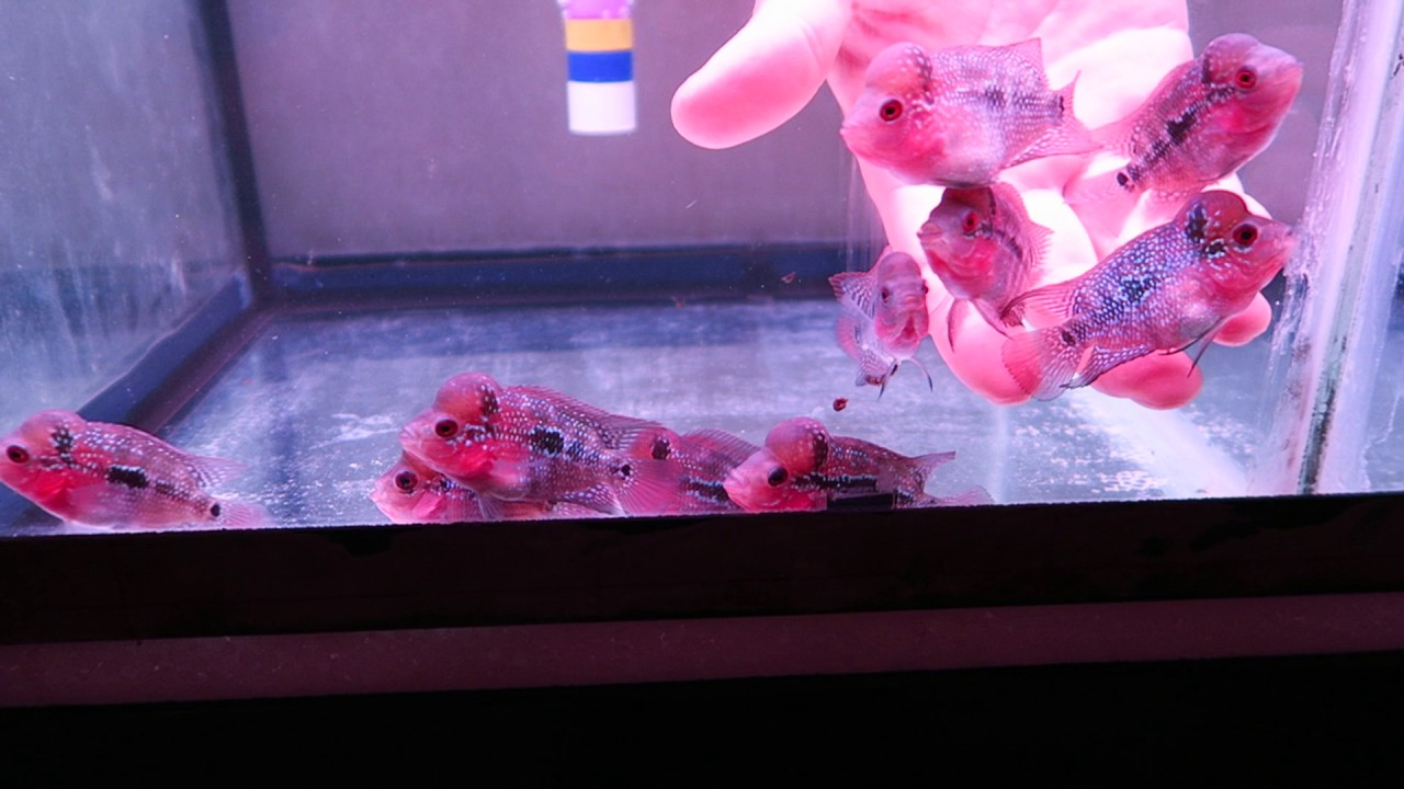 baby flowerhorn for sale - YouTube