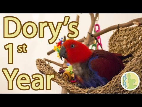 Eclectus Parrot Gotcha Day | 1 Year With Dory