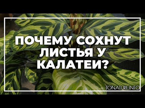 Почему сохнут листья у калатеи? | toNature.Info