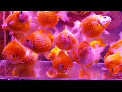 Goldfish Ping Pong Cute   Những Chú pingpong vừa tròn quá dễ cưng luôn   Trại Cá Kiểng Diamond Da