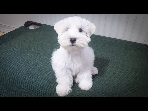 Adorable White Miniature Schnauzer Puppy in Training - Cash is so cute!