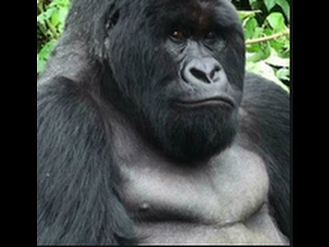Why Gorillas have HUGE Chests!!!