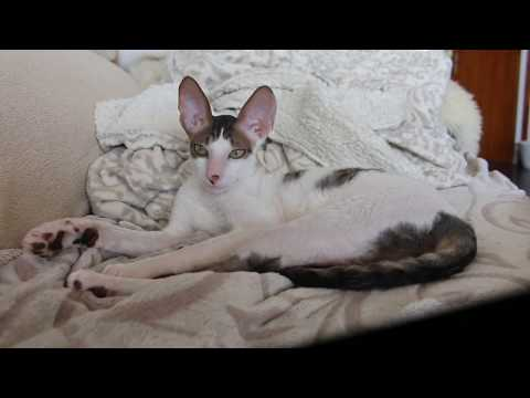 Cat Cornish Rex Eros