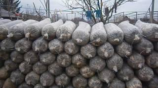 Отработанные грибные блоки Вешенки. Сбор урожая, применение.