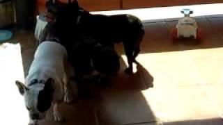 French Bulldog Making Funny Noise