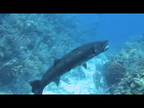 Barracuda Devours Lionfish