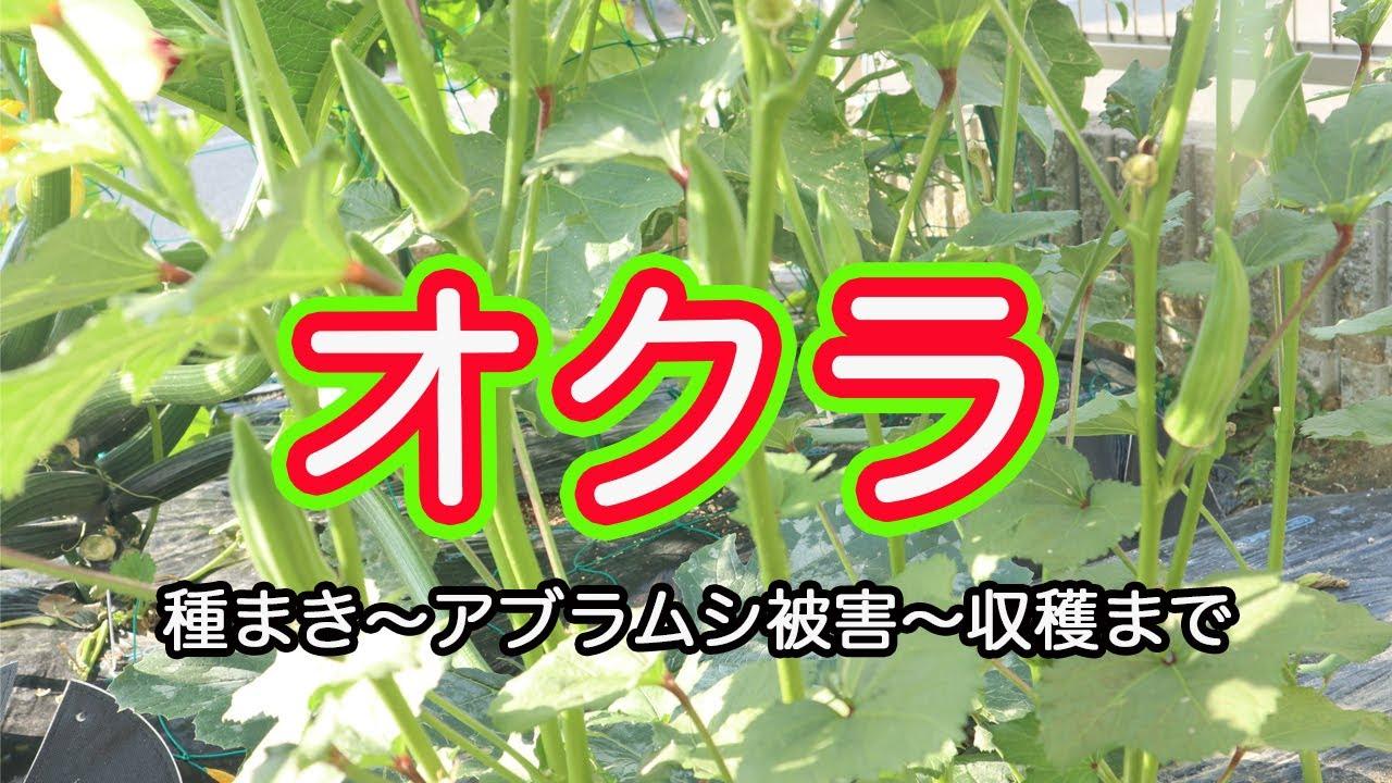 【家庭菜園】オクラの収穫が続いています。今までいろいろあったオクラを種まきからまとめました。たくさんの方に見守っていただき、やっと収穫までたどり着けたことに感動しています。