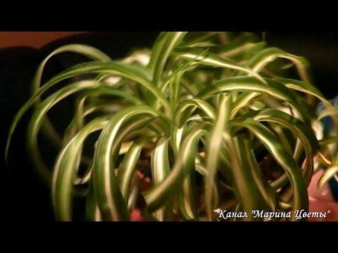 Хлорофитум - выращивание, уход, размножение. Комнатные цветы