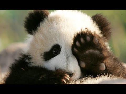 Лучшая профессия в мире (обниматель панд)