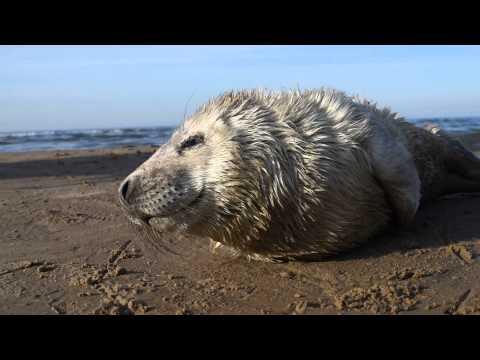 Маленький серый тюлень в Юрмалеиз YouTube · Длительность: 1 мин8 с