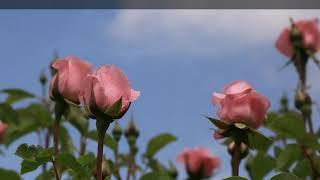 Ухаживайте за розами после зимы правильно