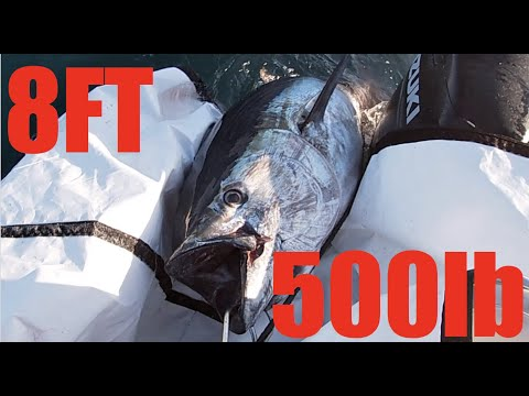 What WICKED TUNA *DOESN'T* WANT TO SHOW YOU   Commercial Fishing BLUEFIN TUNA