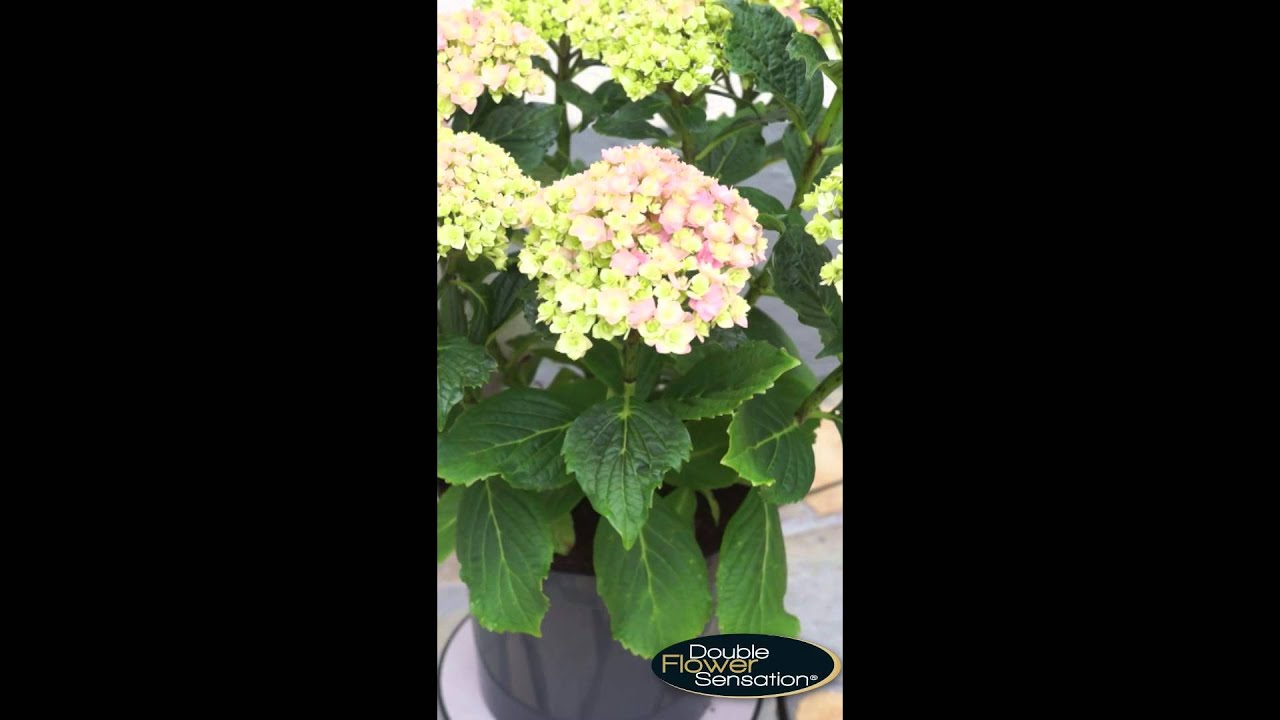 Hydrangea Double Flower Sensation Together Pink Youtube