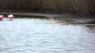 Video Roseate Spoonbills feeding in the Marsh download MP3, 3GP, MP4, WEBM, AVI, FLV April 2018