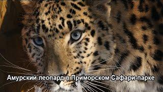 Амурский леопард в Приморском Сафари-парке