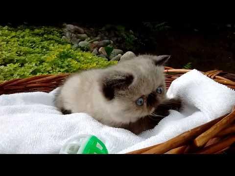 Purebred blue-eyed Exotic Short Hair Kitten (Seal Point)