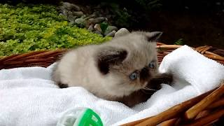 Purebred blue-eyed Exotic Short Hair Kitten (Seal Point)