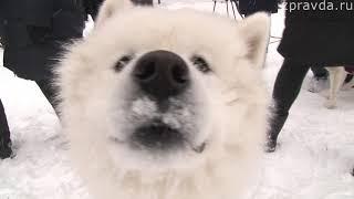 СЮЖЕТ Гонки на собачьих упряжках