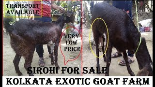 SIROHI Bakri Available For Sale|बकरी सेल काम डैम मैं|kolkata Exotic Goat Farm |Animals Vlog Kolkata