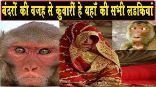 बंदरो की वजह से नहीं होती यहाँ किसी लड़की की शादी, कोई भी बरात इस गाँव में नहीं आती