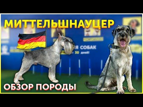 Порода собак Миттельшнауцер   Обзор   Кому подойдет такая собака   Школа для собак DRED