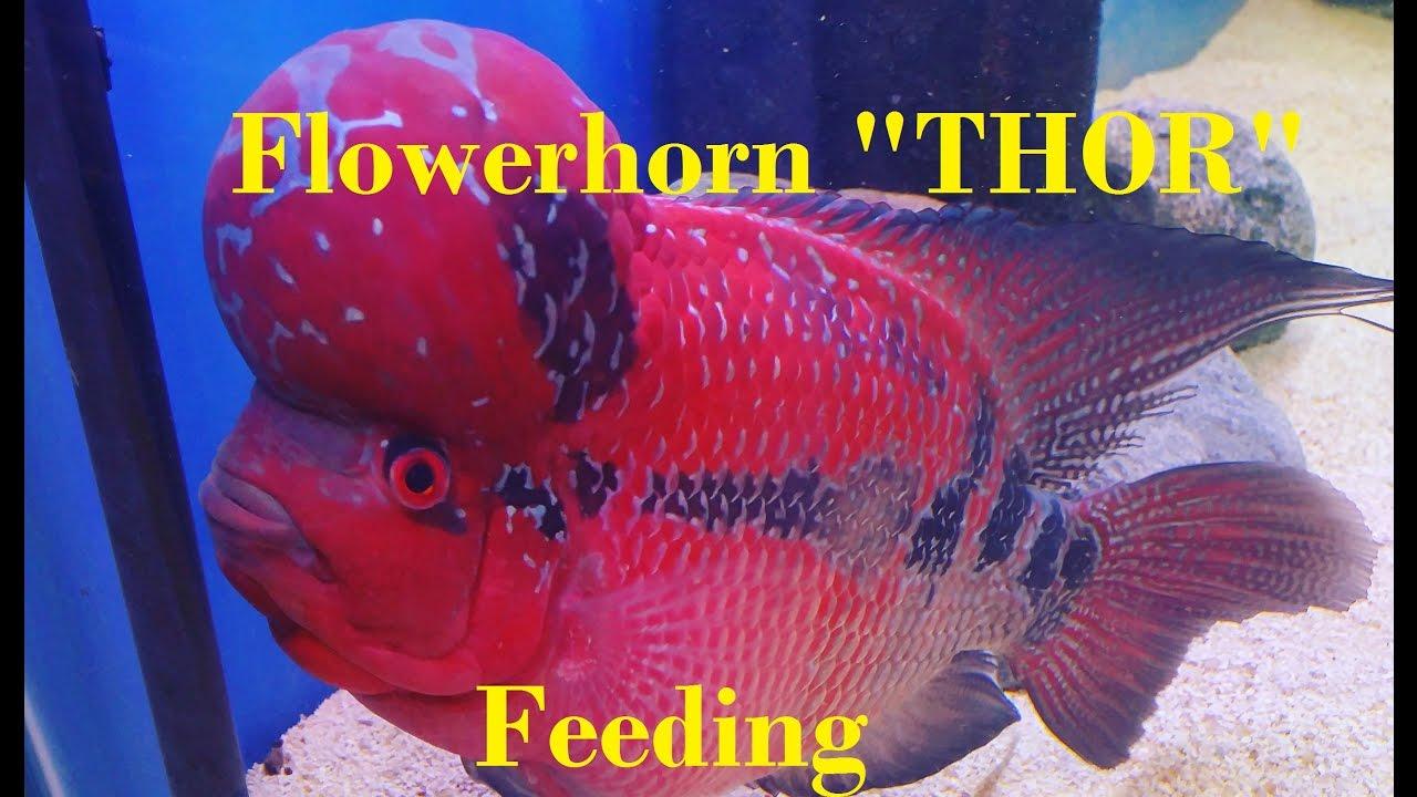 Flowerhorn feeding time