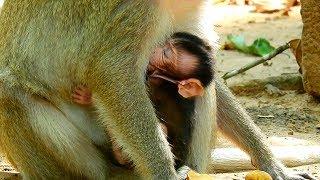 Welcome! Newborn baby monkey, Newborn baby monkey gets milk from mom