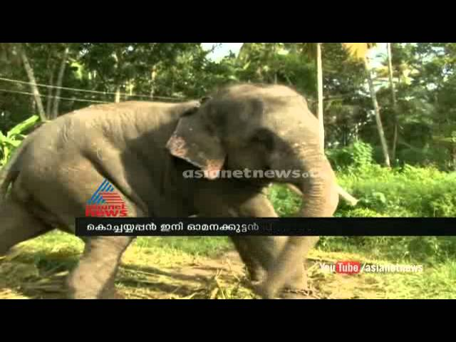 Elephant story: Kochayyappan elephant returns back to wner: Kollam