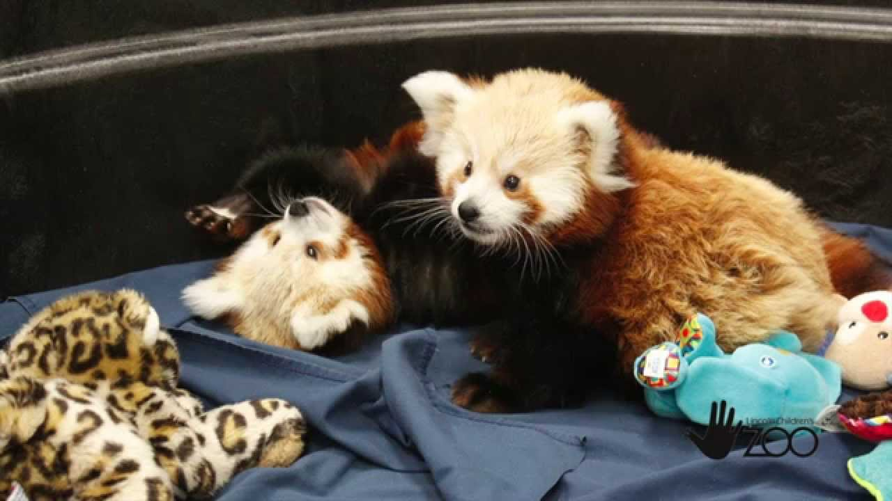 Meet Carson and Willa the Red Panda Twins!