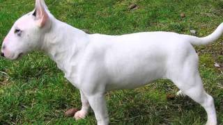 Bull Terrier Dog Breed Information, Pictures, Characteristics .