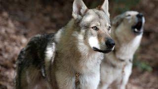 Czechoslovakian wolf dog / Dog Breed