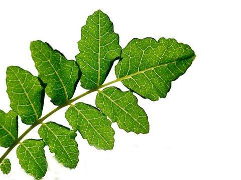Boswellia Serrata | Inflammation, IBD, Rheumatoid Arthritis, Osteoarthritis, Asthma
