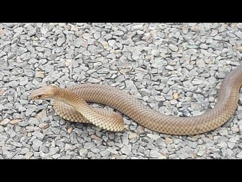Australia's deadliest snake, the eastern brown snake