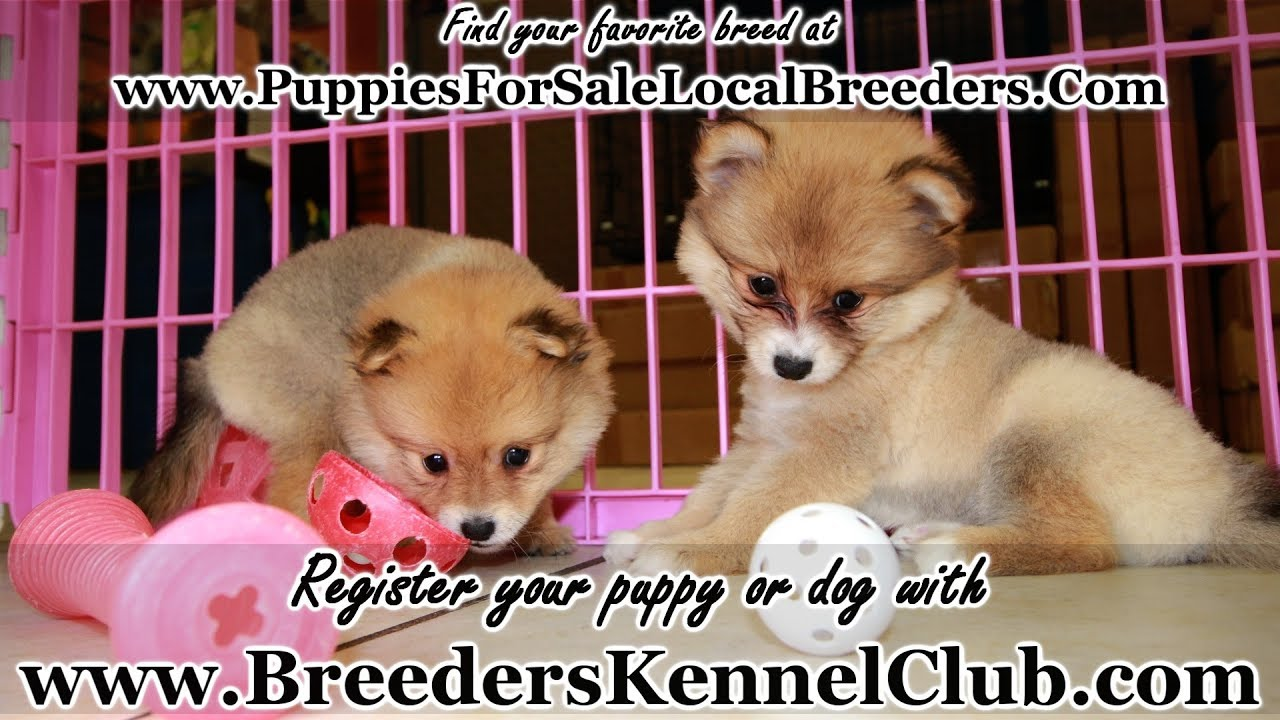 RED POMERANIAN PUPPIES FOR SALE, GEORGIA LOCAL BREEDERS, NEAR ATLANTA, GA