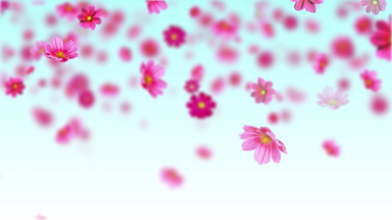 Pink Cosmos Flowers Free Motion Background Loop Youtube