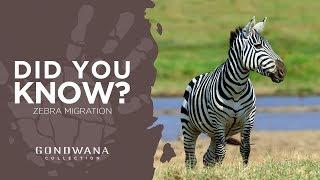 Burchell's Zebra Migration In Namibia