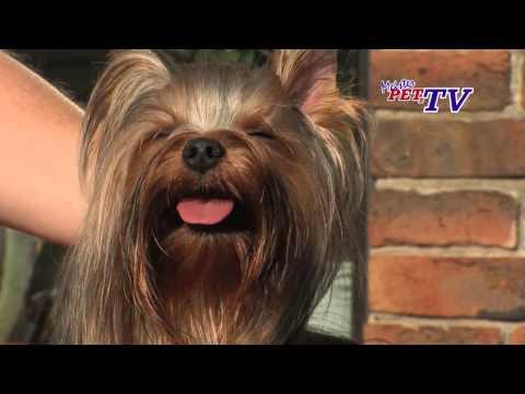 Yorkshire Terrier: Informationen zur Rasse