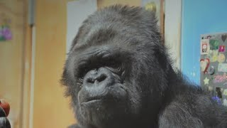 Remembering the human side of Koko the gorilla