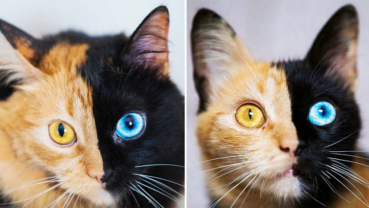 Chimera cat is completely two-faced in a good way; Bot ...