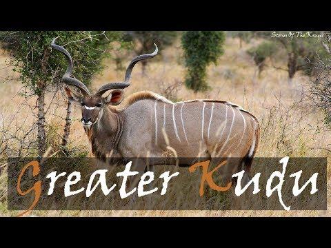 Greater Kudu Alarm Call (Tragelaphus strepsiceros)   Kudu Animal Call   Stories Of The Kruger