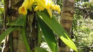 Vanilla Pompona Flowers in wild