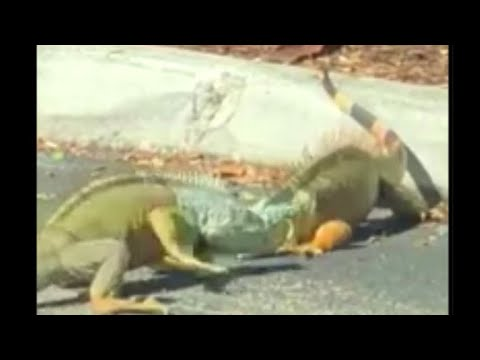 Dueling Iguanas Hold Up Traffic In Starbucks Parking Lot