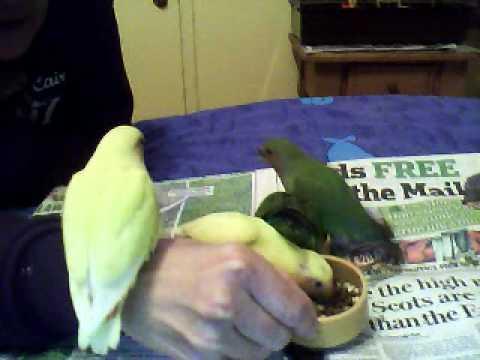 Lovebirds for adoption dec 2011.wmv