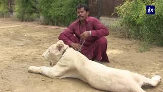فقط في باكستان.. أسود أليفة في حديقة شخصية (5-7-2019)