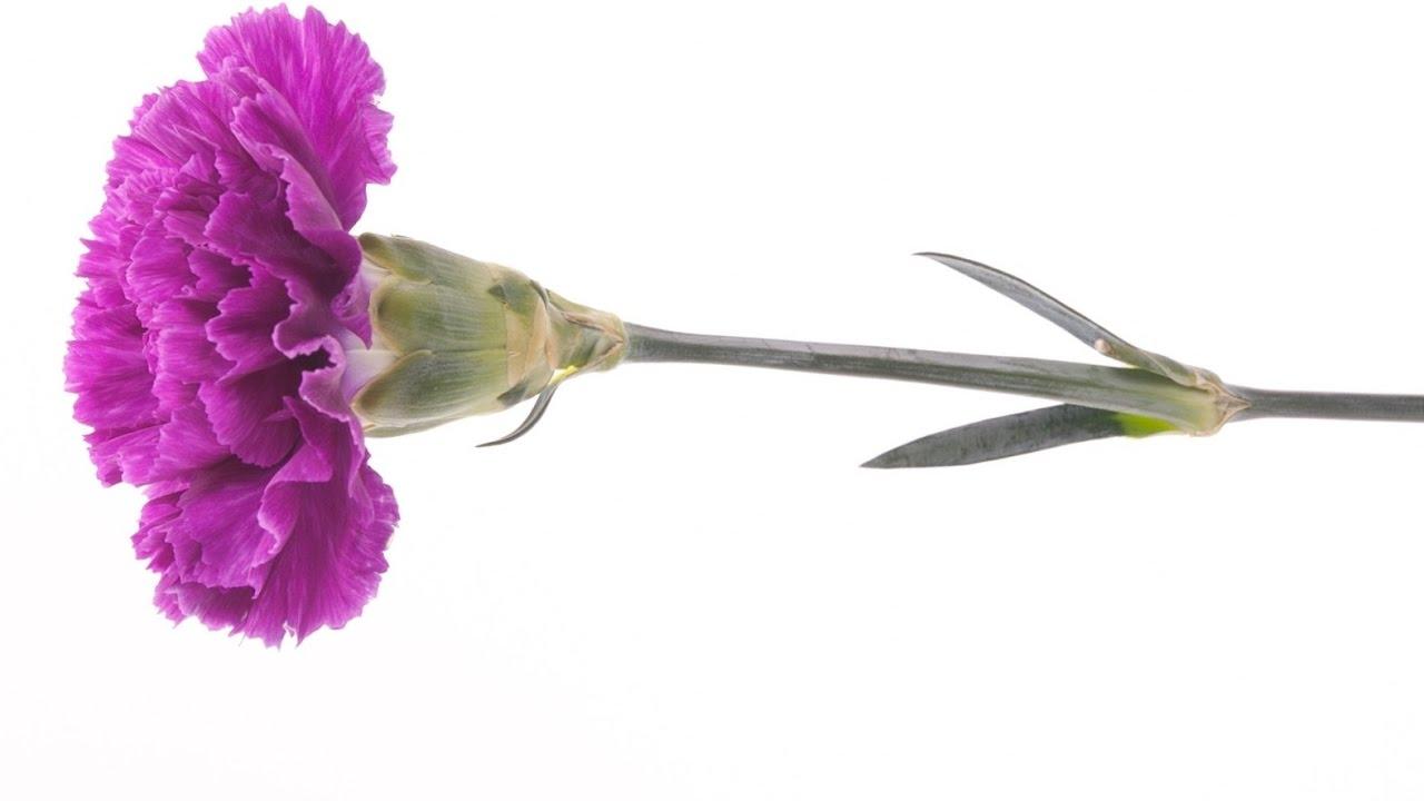 Цветок гвоздика своими руками фото 35