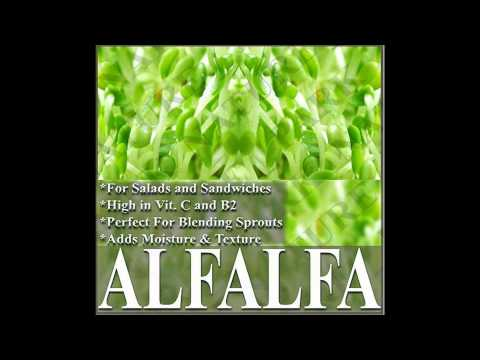 ALFALFA SEEDS - ORGANIC SPROUTING SPROUTS SEEDS on  www.MySeeds.Co