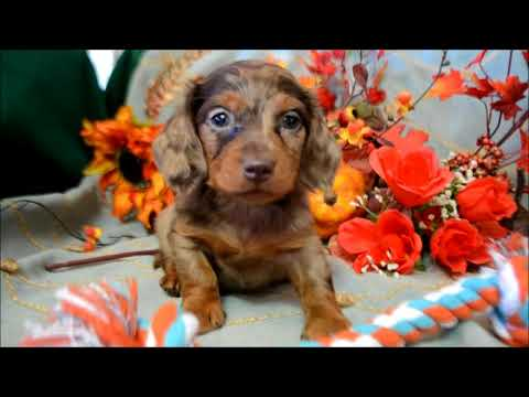 Miniature Dachshund Puppies for sale **www.maryscockerhaven.com** 719-306-8118